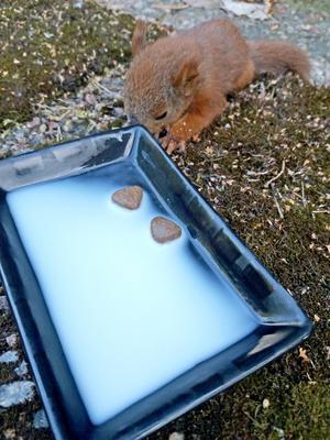 Foto: Privat.Ekorrungen Arvid får äta torrfoder för katter som är blötlagt i mjölk.