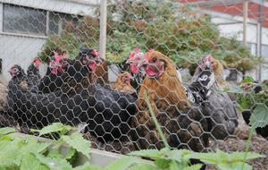 Vid tillfället när hönsen blev ihjälbitna ska de ha befunnit sig både inne i ett hönshus, men också ute på gården. Bilden är en genrebild och har inget med de ihjälbitna hönsen att göra.
