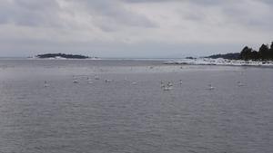 Ett fåtal av alla de svanar som varje vår landar i Tärnöviken på sin återfärd till Sommarsverige. 7 mars 2018.