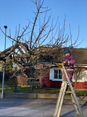 En solig lördag i februari fick jag hjälp av vår lilla trädgårdsmästare, sonen Carl tre år, med att beskära äppleträden hemma i trädgården, skriver Ida Gunnarsson.