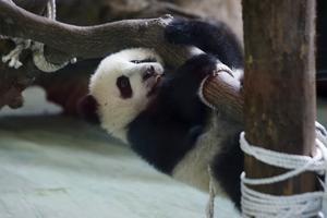 Yuan Zai klättrar för första gången runt inför turisternas ögon.