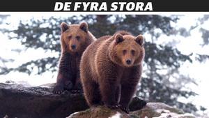 Det finns minst 350 björnar i Västernorrland enligt DNA-inventeringen. Foto: Stefan Sundkvist