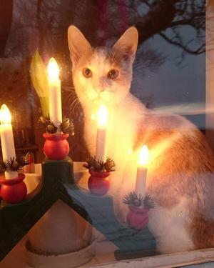 294) Katten Hjalmar myser i advent. Foto: Linnea Carlsson
