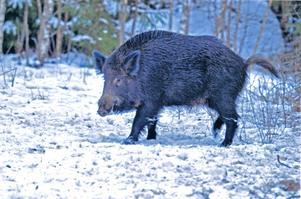 Enligt Karl Johan Bylund har tre suggor, med varsin kull av kultingar, samt två galtar, den senaste tiden rört sig i närheten av Fagersta. Foto: Arkiv