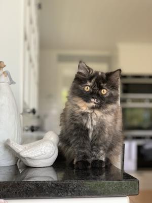 Här är vår katt Smellur. Hon är döpt av familjens yngsta barn Jonathan som ville att hon skulle heta marshmallow men det kunde han inte säga riktigt. Hon är väldigt lugn och kelig. Smellur trivs bäst när hela familjen är samlad i soffan framför brasan om kvällarna, då går hon gärna från knä till knä. Bild: Elisabeth Pant