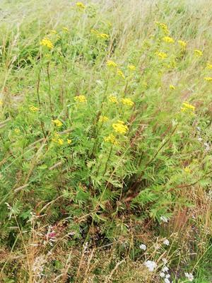 Fina gula blommor i dikeskanten.