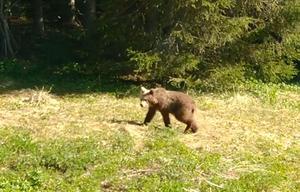 Brumelibrum, vem lufsar där? Femåriga Annabelle fick sällskap av en björn när hon var ute och lekte i trädgården.