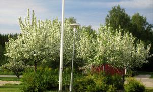 Blommande träd. Bild: Tore Dahlin.