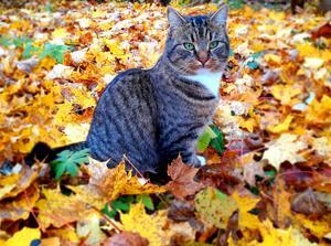 140) Putte bland höstlöven. Mycket stilig och kärleksfull grönögd katt.Foto Emelie Mickelsson.