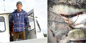 Enligt forskaren Magnus  Karlssons preliminära rapport  har halterna av farliga ämnen i abborre  sjunkit så mycket längs lägets kust att man av hälsoskäl absolut kan äta den fisken.