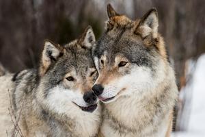 Rovdjursspårarna har inte dokumenterat en enda varg i Ångermanland i vinter. Bara någon varg i reviret i Hälsingland som letat sig upp till södra Medelpad. Foto: Heiko Junge TT