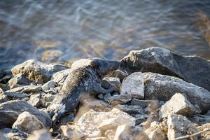 Sälen såg trött ut men simmade till slut ut i vattnet igen.