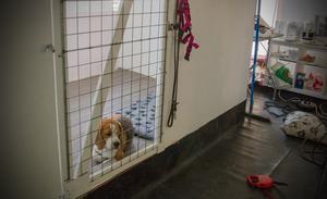 Beaglen Leffe visar hur mycket plats han har i boxen med namnet Gårdesta sviten.