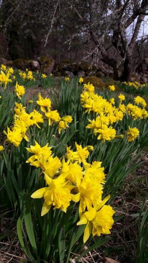 Påskliljor i trädgården. Foto: Kerstin Krause
