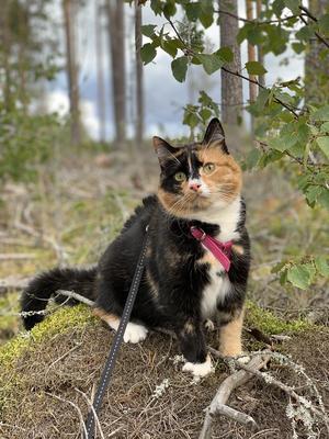 10) Signe är en snart 2 år gammal hittekatt som älskar att busa och vara ute i skogen med matte! Foto: Erica Norlin