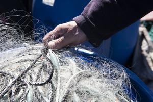 Sälen äter inte bara upp fisk, den orsakar även stora skador på redskap som nät och fällor.