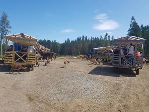 Så här kan det se ut när vagnarna rullar in i hägnet. Foto: Samstorps Gård