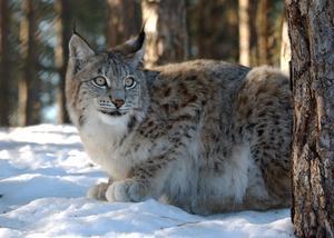 Den 1 mars släpps skarpa jakthundar lösa i naturen att jaga Sveriges populäraste djur – lodjuret, som inte borde jagas alls. Foto: Jan Collsiöö/TT