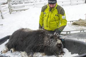 Mats Ericsson, Tännäs Myskoxcenter, säger hejdå till tjurkalven.