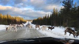 Trafikverket varnar för renar längs vägen vid Svinåsen – två blev påkörda av bilist