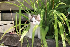 En kattunge kommer ut och försöker gömma sig i rabatten.