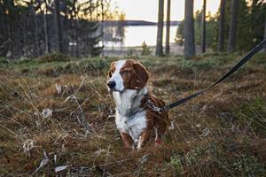 Som jakthund är det skönt att ha skogen inpå husknuten.