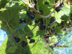 Svart vinbären mognar