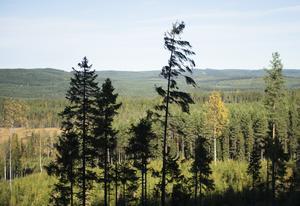 En lång rad åtgärder har gjorts av oss skogsägare de senaste decennierna – och vi ser tydliga resultat, förklarar Karin Perers, Ingela Sannesjö,  och Göran Engström, i sitt inlägg om skogsbruket. Foto: Fredrik Sandberg/TT