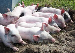För två veckor sedan föddes 54 levande smågrisar i Häljesund. När grisarna är 6–7 månader väger de i genomsnitt 130 kilo.