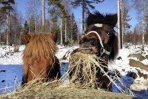 Cindra och Skyla mumsar hö direkt från rundbalen. Mellan dem kan man skymta Fjallfrid som mött både varg och björn i skogen utan att bli rädd, men som inte vågar sig fram när Arbetarbladets reporter står mitt i hästflocken.