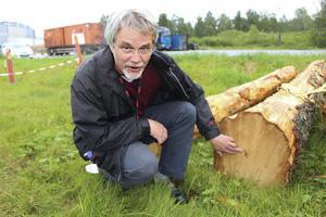 Redan på den tiden när dåvarande Asea använde området som deponi, växte det skog här. Den här björken var nog omkring hundra år gammal, gissar Håkan Hultgren efter en snabb räkning av årsringarna.