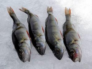 Endast abborre räknas i pimpel-DM, enligt Sportfiskarnas regler.