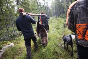 Från och med onsdag är det björnjaktstider i Västernorrland, en jaktsäsong som ännu har en bra bit kvar till älgjaktens popularitet.