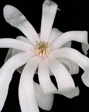 Långväga. I klass tretton finns växter med fler än tolv ståndare, fästa tätt under pistillen. Magnolian, med omkring 100 arter från Sydostasien, hör dit.