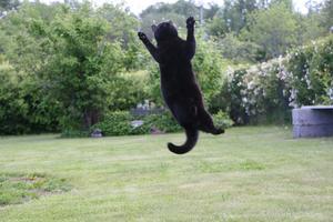 Katt eller fågel??Katten Åke var på bushumör och jag lyckades fånga han hoppandes på en bild.