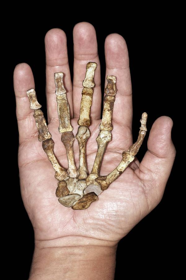 Arterna inom släktet Australopithecus var ganska små, betydligt mindre än en nutida människa, och sannolikt ganska bra på att klättra i träd. De hade starka händer med god greppförmåga, vilket framgår av handskelettet på bilden. Foto: Peter Schmid/AP/TT