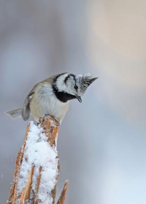Tofsmes: (Pa´rus crista´tus) Art i fågelfamiljen mesar. Den är 11–12 centimeter lång och har gråbrun översida och smutsvit undersida. Huvudet är svartvitt med svartspräcklig nacktofs. Arten häckar i barrskog i stora delar av Europa österut till Centralasien. Den finns i så gott som hela Sverige och är utpräglad stannfågel med granfrön som stapelföda.