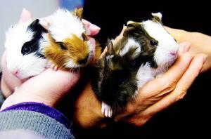 Fyrlingar. Jättesöta är de fyra veckogamla småttingarna som har Ludde till far och Lillstrumpa till mor.
