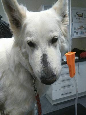 Vita Herdehunden Mirakel blev tidigare i veckan angripen av en orm. Ovanligt för den här tidpunkten på året, men efter några riktigt varma dagar är de i rörelse igen.
