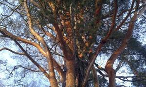 Tall med rödskimrande bark.
