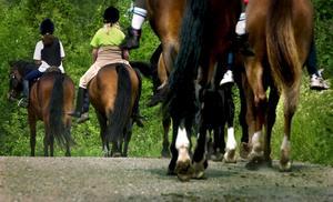 Populär sysselsättning. Sverige är ett av Europas mest hästtäta länder med fler än 500 000 aktiva utövare och nästan 280 000 hästar, skriver debattörerna.foto: scanpix