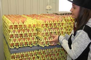 Efterfrågan på ägg är stor över påsken. Gårdsförsäljningen går väldigt bra menar Frida Säfström. Resten säljer hon vidare till äggpackeriet Alsbo ägg.