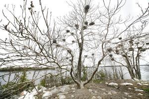 Skarven är inte hotad. Det är däremot många lokala bestånd av abborre, gädda, ål och öring. Det är de som behöver skydd, skriver Lars Wiström.foto: johan wahlgren