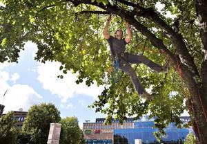 Akrobatik. Craig Wilson från Nya Zeeland beskär en av lindarna på Stortorget.