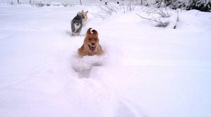 Hundarna suckar knappast över snödjupet, här är det full fart så snön bara yr omkring dom .