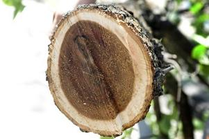 DÖENDE ALM. Så här ser den drabbade almen ut på insidan. Barken täpps igen och trädet kväver sig självt, enligt trädexperten Ricky Morelli. Nu har man kunnat konstatera att det är den mildare varianten av almsjukan som har kommit till Gävle.
