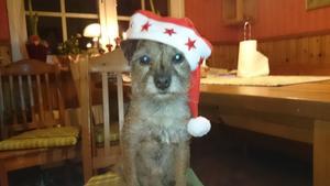 Om bilden: En border terrier som heter Rune och har blivit hela 11 och halvt år nu det här kortet tog vi redan 2014 och har använt som julkort sen dess. Foto: Roland Berg