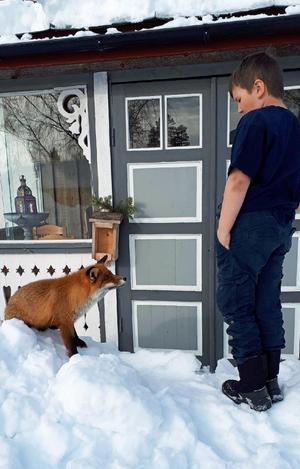 Ove Larssons barnbarn Jakob passade på att leka med räven, när den dök upp vid fritidshuset.