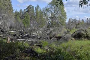 Grönskan återvänder mellan träd som fallit efter bränderna.