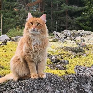 42) Katten Oskar på den uråldriga stenmuren som ramar in hans revir. Foto: Petra Fors